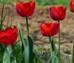 tulip-165008_150